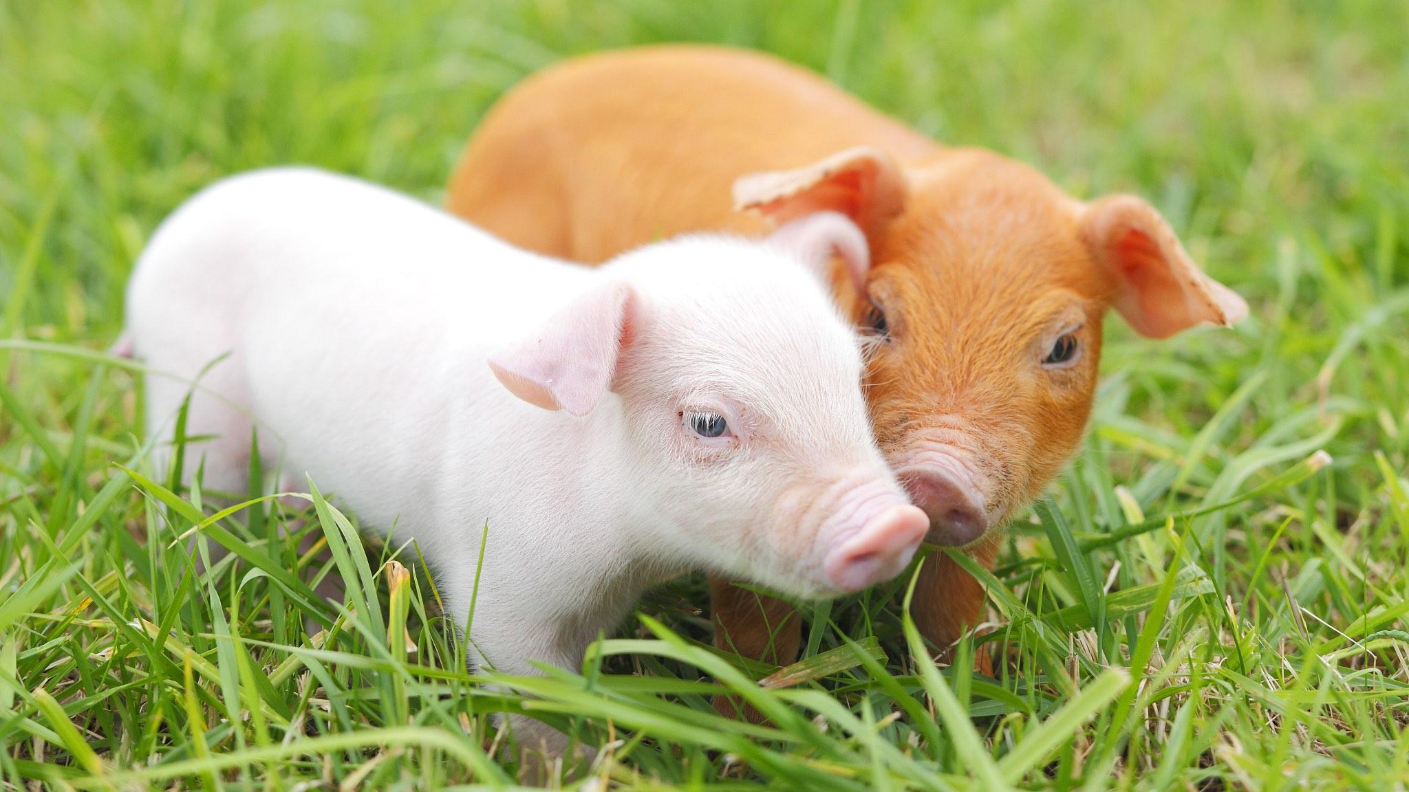 Оприлюднено закупівельні ціни на живих свиней на 3 – 9 травня
